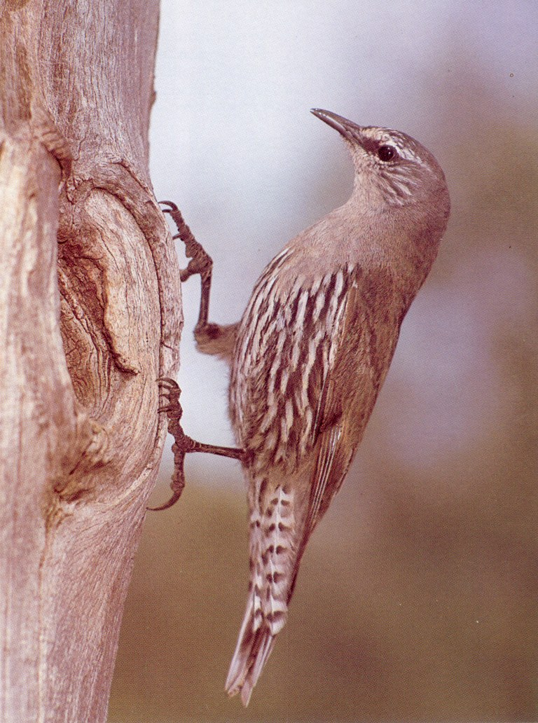 White-browed Treecreeper (Climacteris affinis)  <!--흰눈썹나무발발이-->; Image ONLY