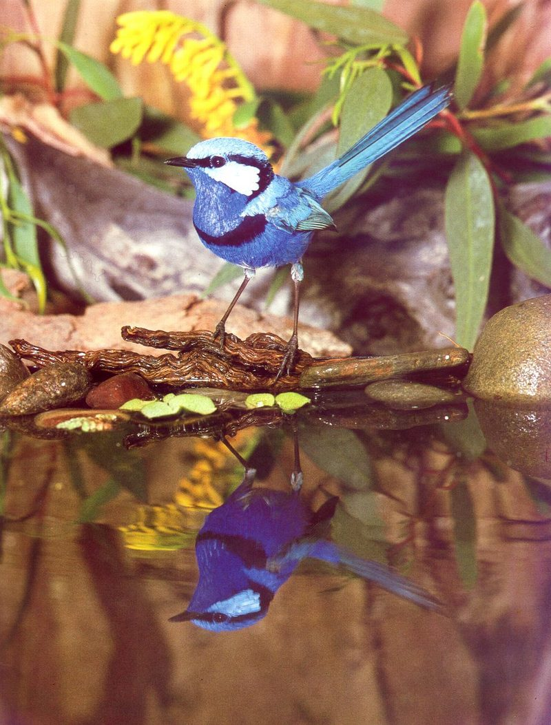 Splendid Fairy-wren (Malurus splendens) <!--서부요정굴뚝새-->; DISPLAY FULL IMAGE.
