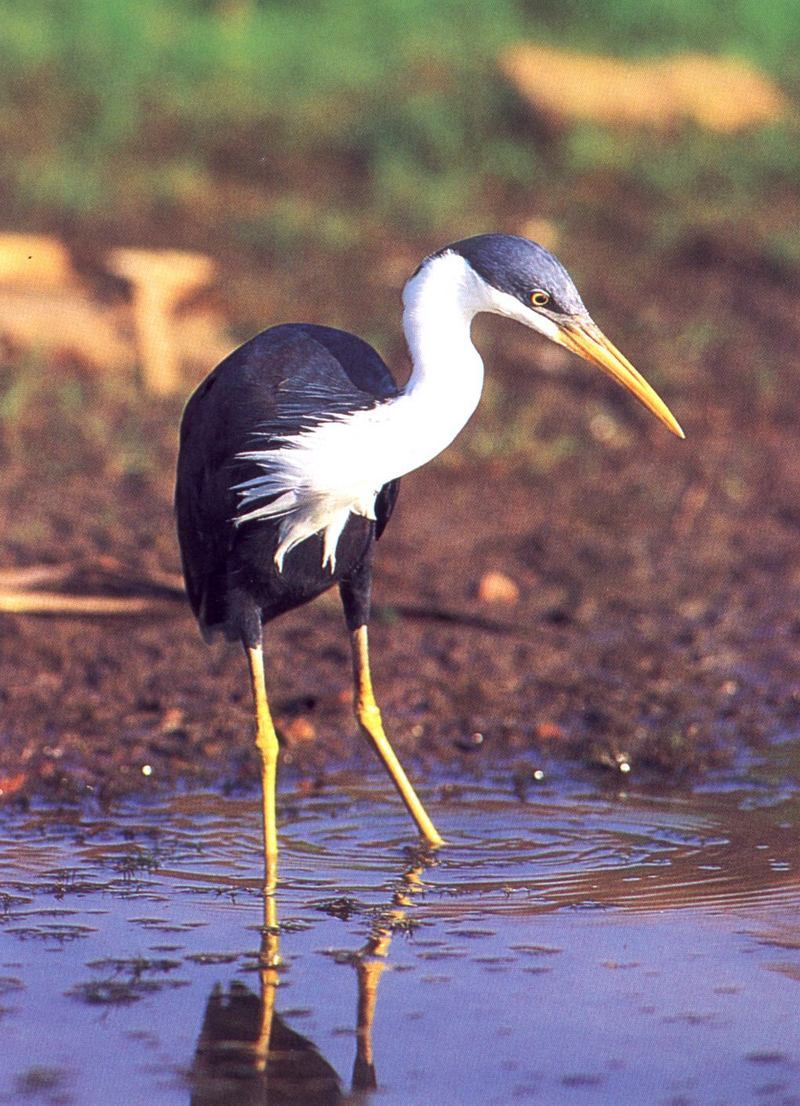 Pied Heron (Ardea picata) <!--호주왜가리-->; DISPLAY FULL IMAGE.