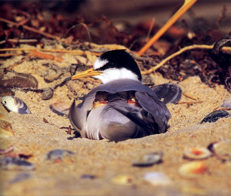 Little Tern (Sterna albifrons) <!--쇠제비갈매기-->; DISPLAY FULL IMAGE.