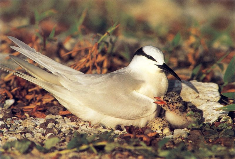 Black-naped Tern (Sterna sumatrana) <!--검은눈썹제비갈매기-->; DISPLAY FULL IMAGE.