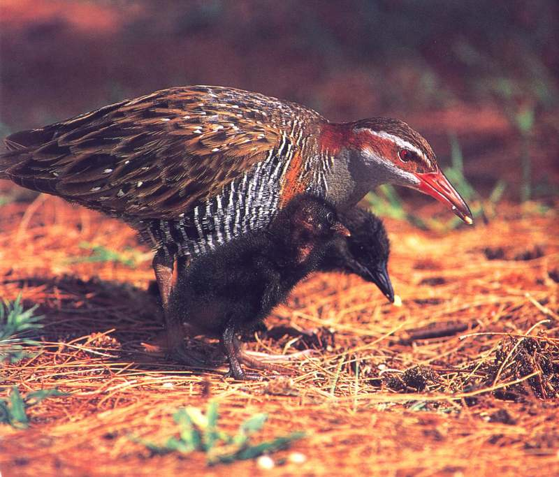Buff-banded Rail (Rallus philippensis) {!--필리핀뜸부기-->; DISPLAY FULL IMAGE.