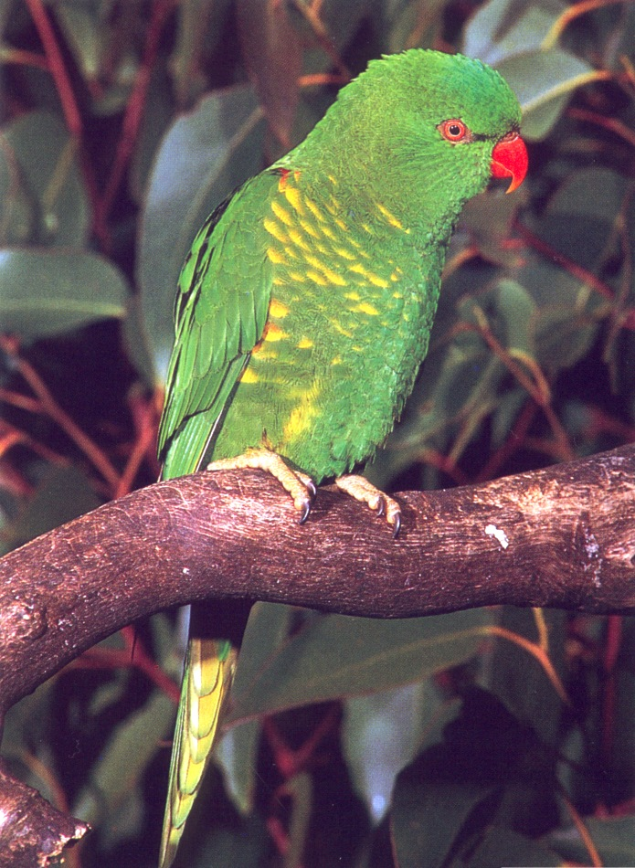 Scaly-breasted Lorikeet (Trichoglossus chlorolepidotus) <!--(호주)비늘앵무-->; Image ONLY