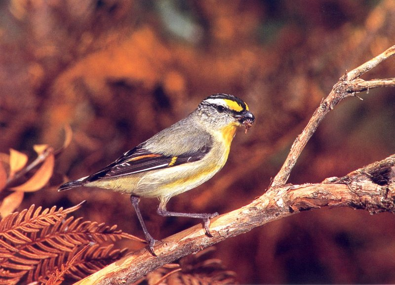 Striated Pardalote (Pardalotus striatus) <!--노란눈썹보석새-->; DISPLAY FULL IMAGE.