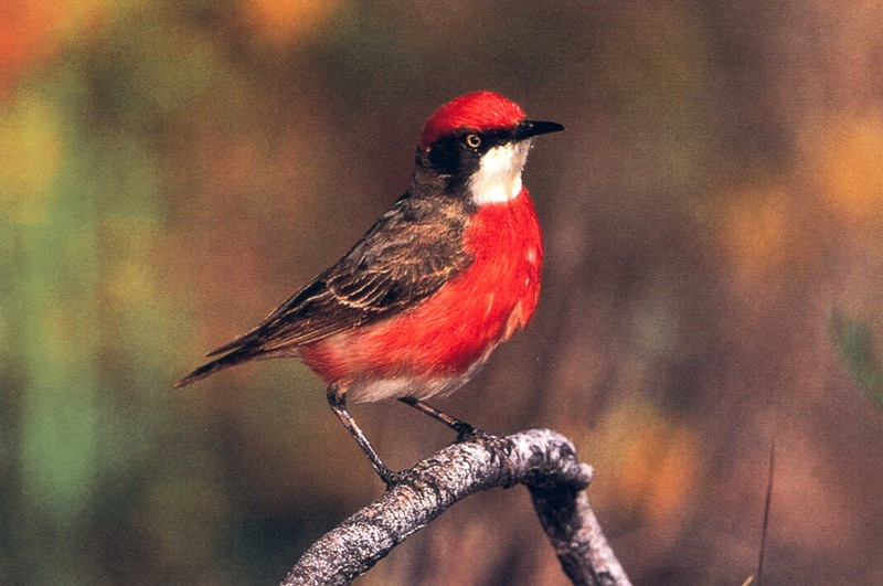 Crimson Chat (Epthianura tricolor) <!--삼색꿀빨기새-->; DISPLAY FULL IMAGE.