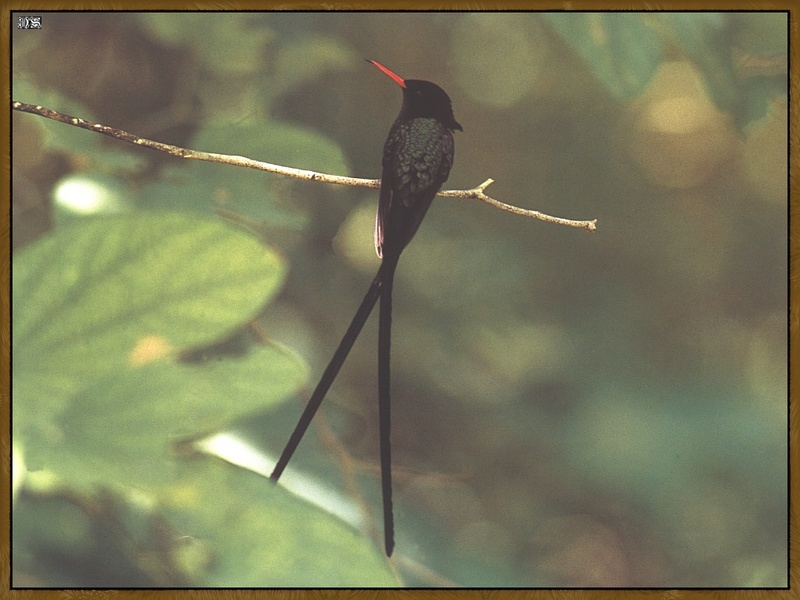 Red-billed Streamertail (Trochilus polytmus) <!--붉은부리가위꼬리벌새-->; DISPLAY FULL IMAGE.