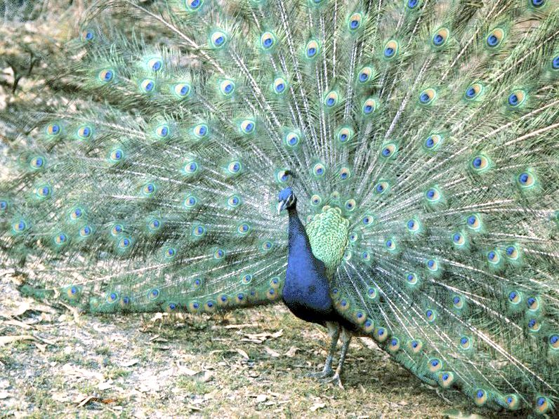 indian peafowl photos and - photo #18