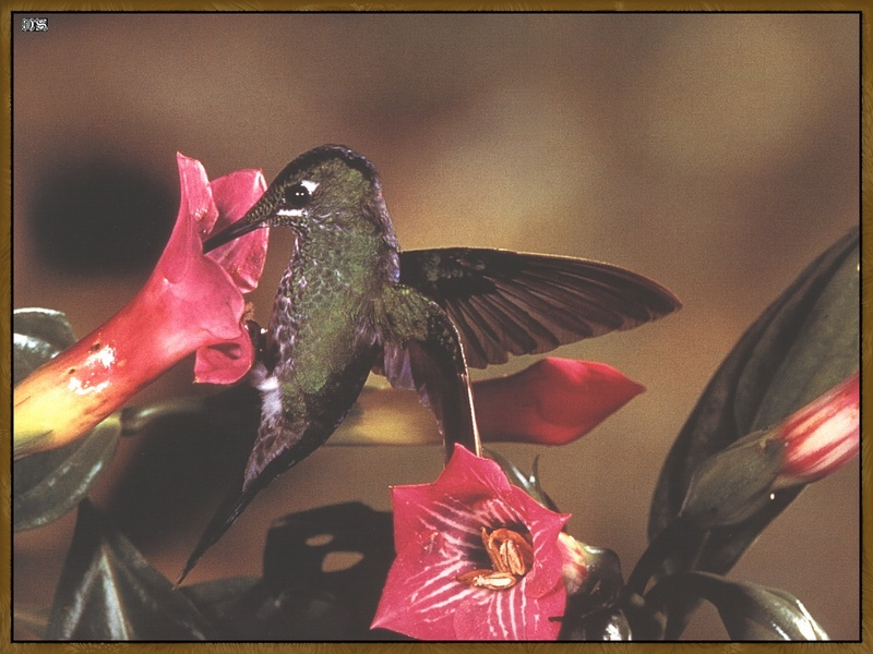Green-crowned Brilliant Hummingbird (Heliodoxa jacula) <!--청관벌새-->; DISPLAY FULL IMAGE.