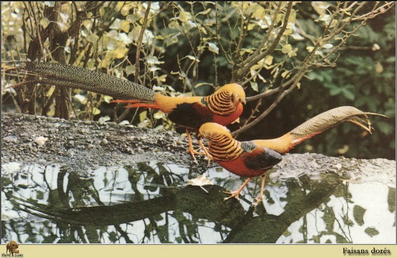 Golden Pheasant pair (Chrysolophus pictus) <!--금계(金鷄)-->; DISPLAY FULL IMAGE.
