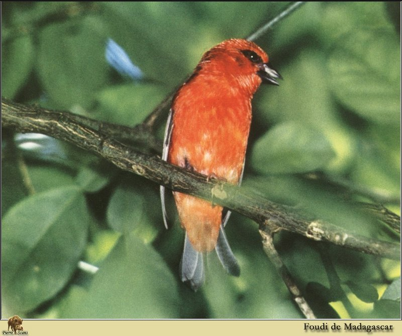 Madagascar Red Fody (Foudia madagascariensis) <!--마다가스카르붉은포디-->; DISPLAY FULL IMAGE.