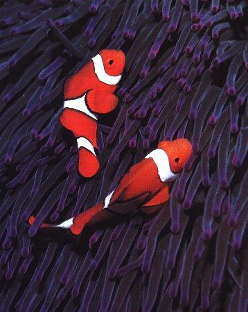 False Percula Clownfish (Amphiprion ocellaris) <!--오렌지동가리붙이-->; Image ONLY