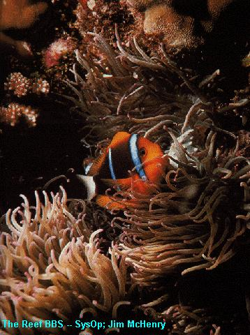 Clownfish (Amphiprion sp.) <!--동가리돔류-->; Image ONLY
