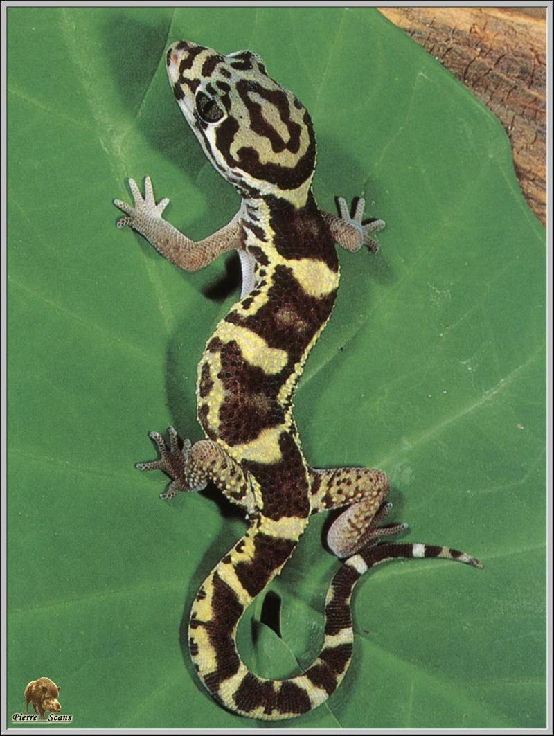 Central American Banded Gecko (Coleonyx mitratus) <!--중미띠도마뱀붙이-->; DISPLAY FULL IMAGE.