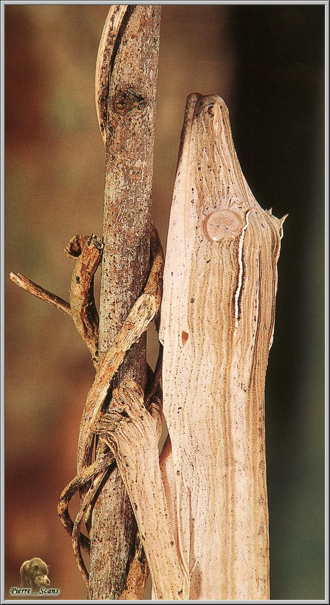 Madagascan Gecko; Image ONLY
