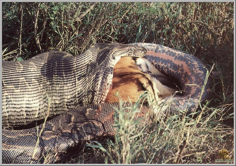 African Rock Python (Python sebae) <!--임팔라영양을 삼키는 아프리카비단뱀-->; DISPLAY FULL IMAGE.