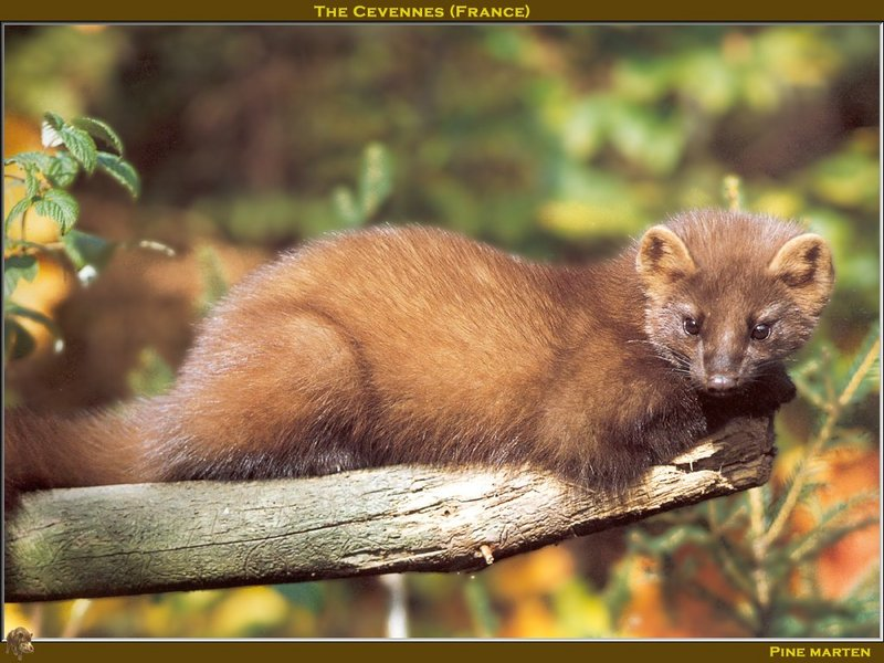 European Pine Marten (Martes martes) <!--유럽소나무산달-->; DISPLAY FULL IMAGE.