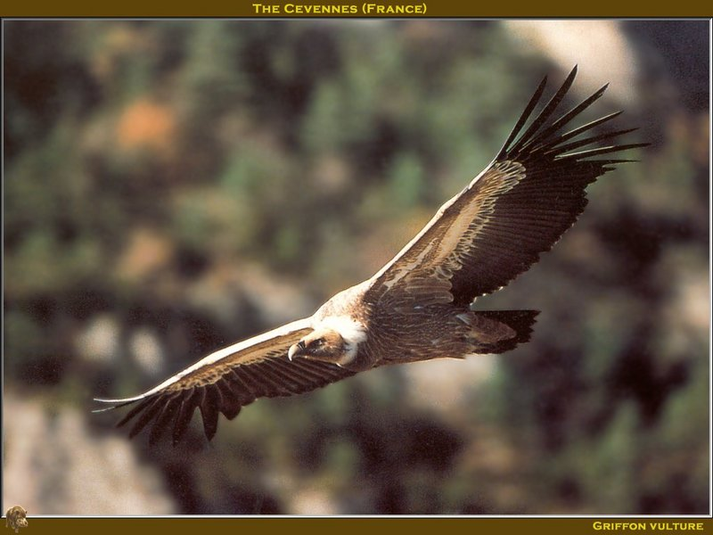 Eurasian Griffon Vulture (Gyps fulvus) <!--흰목걸이독수리-->; DISPLAY FULL IMAGE.