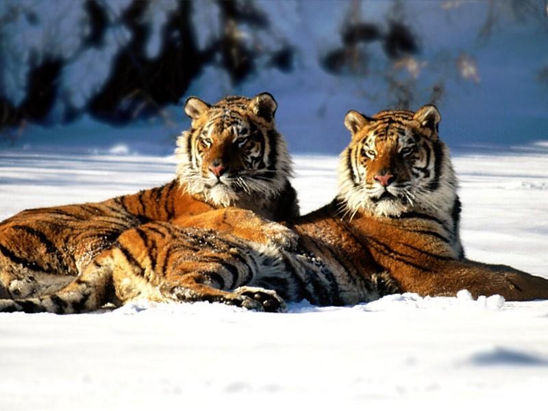 Lounging, Siberian Tiger Pair.jpg