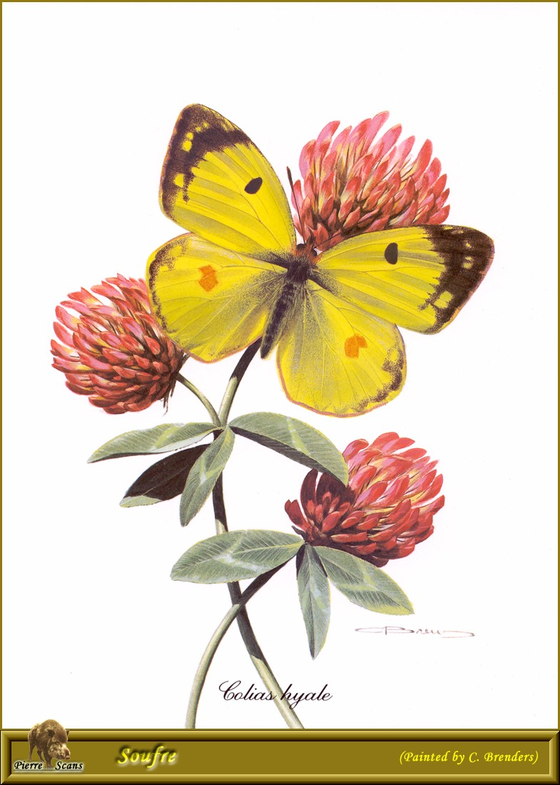 Pale Clouded Yellow (Colias hyale) {!--유럽노랑나비-->; Image ONLY