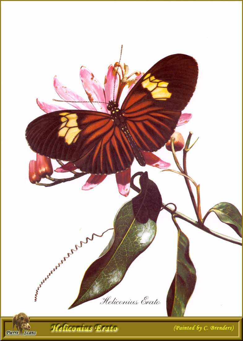 Small Postman Butterfly (Heliconius erato) <!--작은우체부독나비-->; Image ONLY