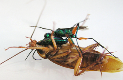 A Wasp With a Taste for Brain [Science 2004-08-12]; Image ONLY
