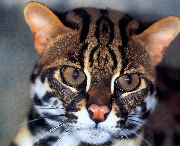 p-wc28-leopard cat.jpg