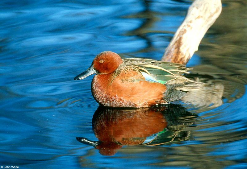 Cinnamon teal (Anas cyanoptera); DISPLAY FULL IMAGE.