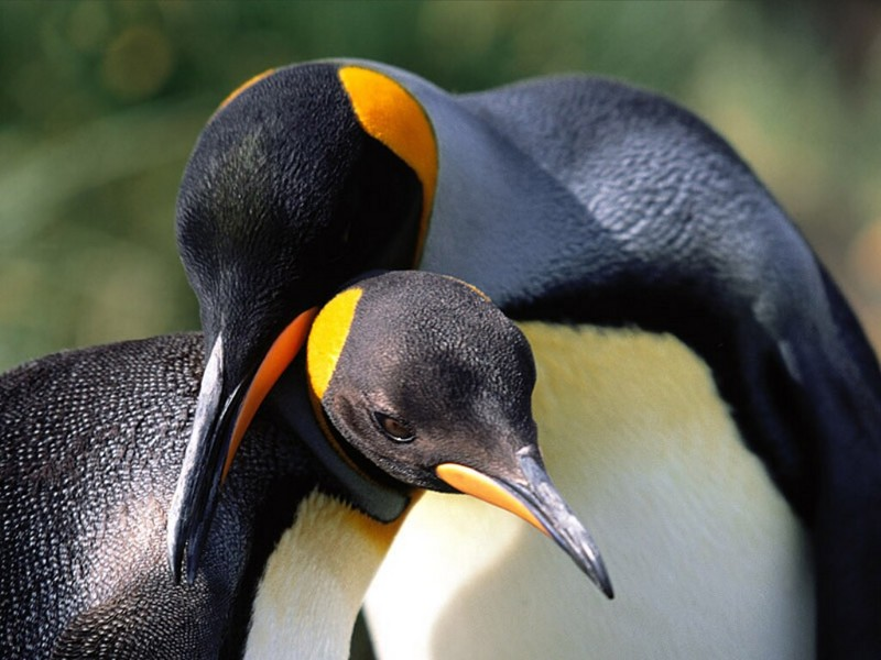 Whispering Sweet Nothings, King Penguins; DISPLAY FULL IMAGE.