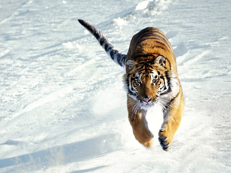 The Siege, Siberian Tiger.jpg
