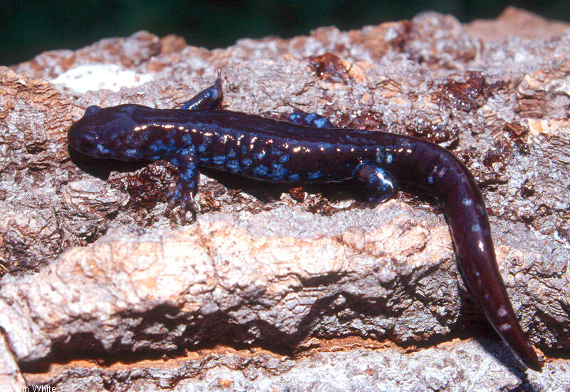Blue-spotted Salamander (Ambystoma laterale)0002; Image ONLY