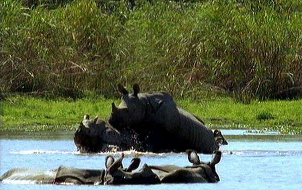 [Wildlife Vidcaps] mm_Indian_Rhinos_15_Mating; Image ONLY