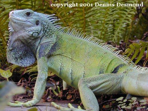 iguana iguana15.jpg