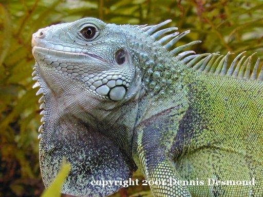 iguana iguana16.jpg