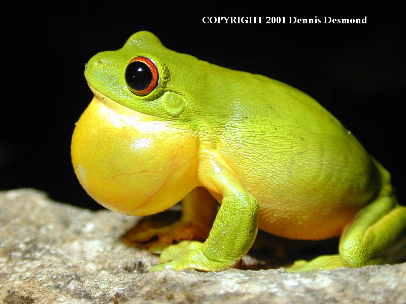 Southern Orange-eyed Treefrog (Litoria chloris) <!--호주붉은눈청개구리-->; Image ONLY