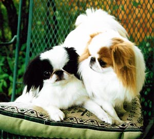 [Breed Infomation] JAPANESE CHIN; Image ONLY