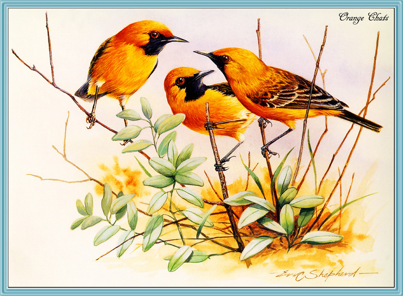 [Eric Shepherd] Orange Chat (Epthianura aurifrons) <!--노란꿀빨기새(호주)-->; DISPLAY FULL IMAGE.