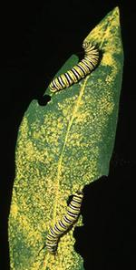 Engineered Corn Can Kill Monarch Butterflies [EurekAlert 1999-05-19]; Image ONLY