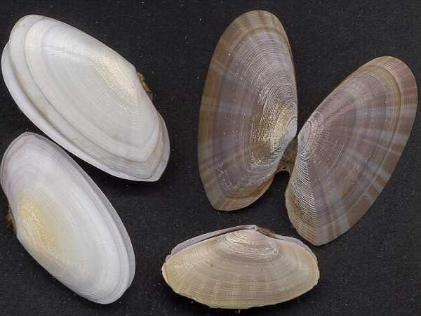 Tasmanian shell - Purple Sunset Shell (Gari livida); Image ONLY