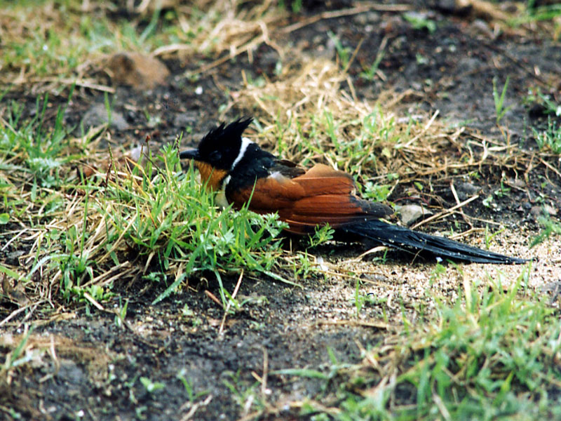 밤색날개뻐꾸기 Clamator coromandus (Chestnut-winged Cuckoo); Image ONLY