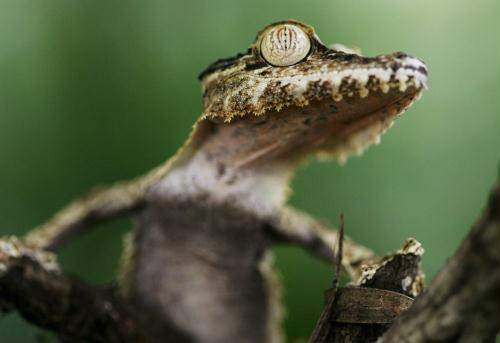 Common Leaf-tailed Gecko (Uroplatus fimbriatus); Image ONLY