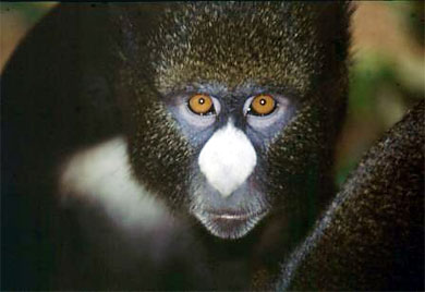 Putty-nosed Monkey (Cercopithecus nictitans) {!--흰코원숭이-->; Image ONLY