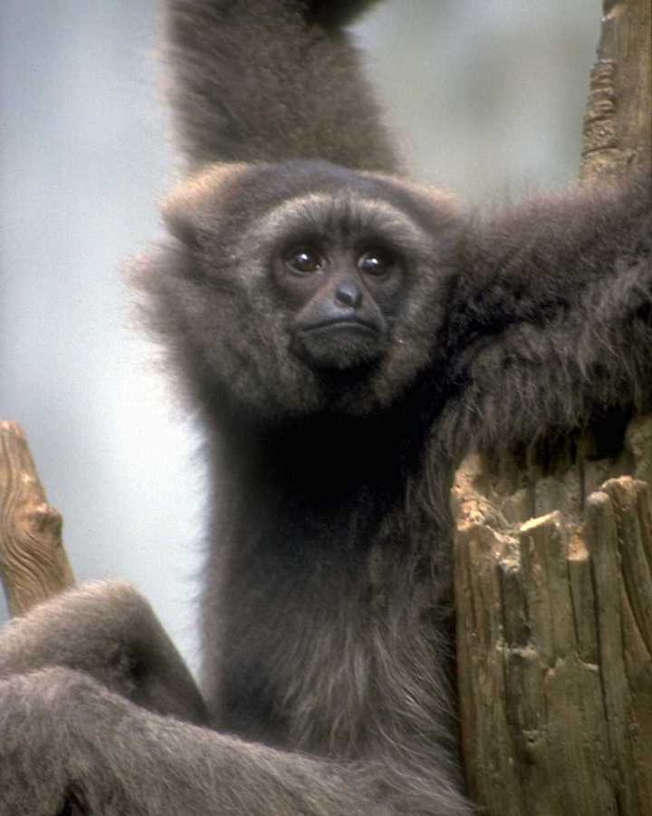Can anyone ID what is this Gibbon (Hylobatidae)? <!--긴팔원숭이과-->; Image ONLY