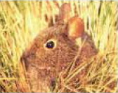 [AZE Endangered Animals] Volcano rabbit (Romerolagus diazi); Image ONLY