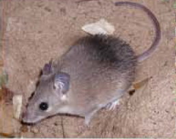 [AZE Endangered Animals] Asia Minor spiny mouse (Acomys cilicicus); Image ONLY