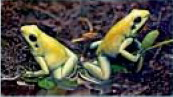 [AZE Endangered Animals] Golden poison frog (Phyllobates terribilis); Image ONLY