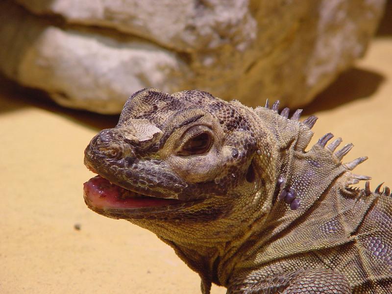 001001-woestijn leguaan - desert iguana.jpg