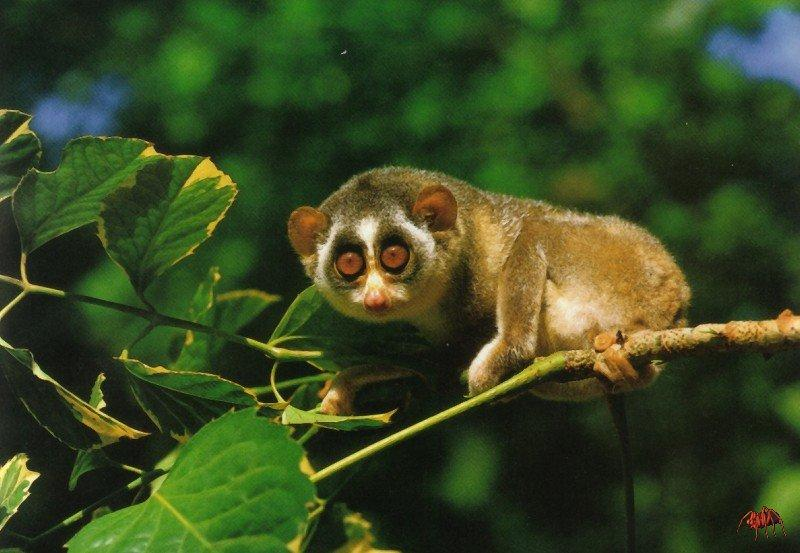 an overview of the slender loris species Information on the slender loris is currently being researched and written  giving just the cost of a slice of cake will keep this species fact file free and.