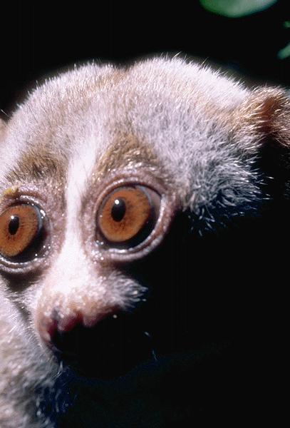 Slow Loris (Nycticebus coucang) <!--느림보늘보원숭이-->; Image ONLY