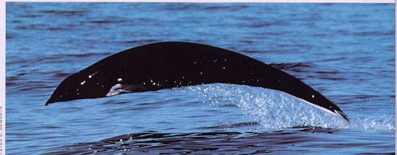 Northern Right Whale Dolphin (Lissodelphis borealis) <!--고추돌고래-->; Image ONLY