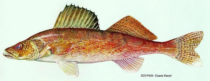 Walleye (Sander vitreus); DISPLAY FULL IMAGE.